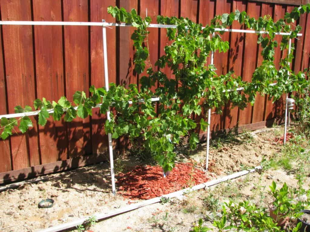 Growing Grapes In Backyard  Backyard With Wooden Fences And Grapes Growing Grapes At