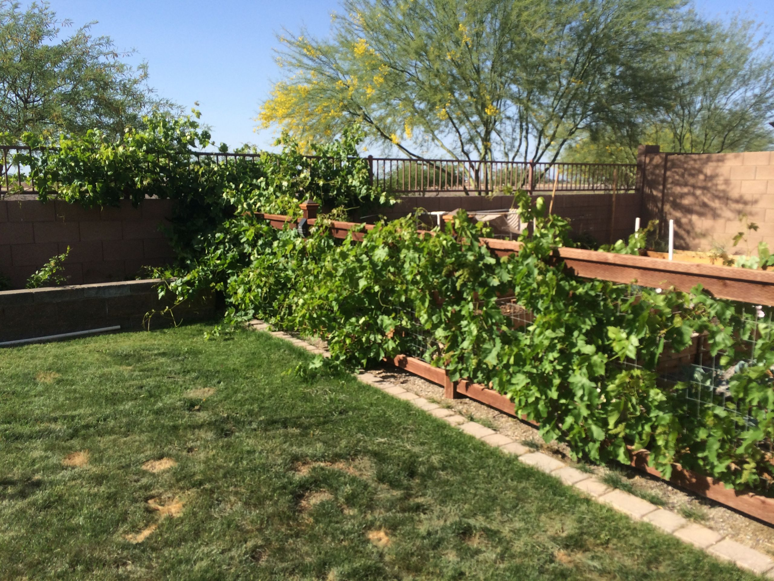 Growing Grapes In Backyard  Five Tips for Growing Grapes in Phoenix
