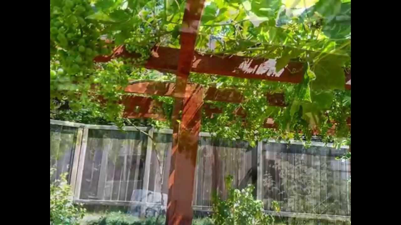 Growing Grapes In Backyard  Growing grapes in backyard Seattle WA