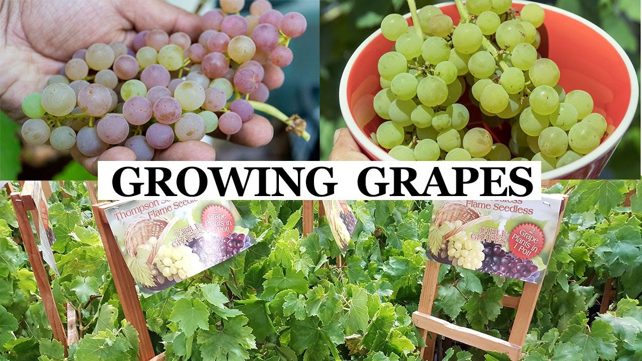 Growing Grapes In Backyard  Two Year Grapes How To Grow Grapes In Your Garden