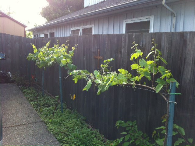 Growing Grapes In Backyard  Grow Table Grapes in Your Backyard Proverbial Homemaker