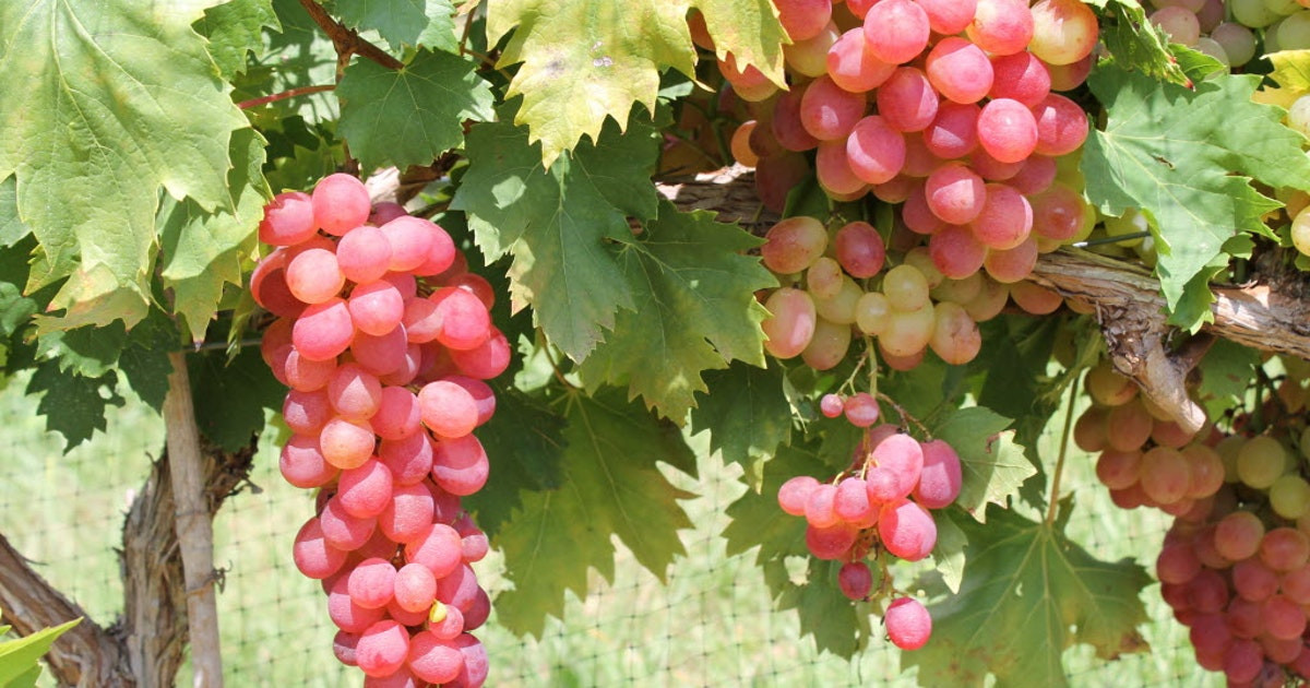 Growing Grapes In Backyard  Growing grapes in your backyard is not just an indulgent