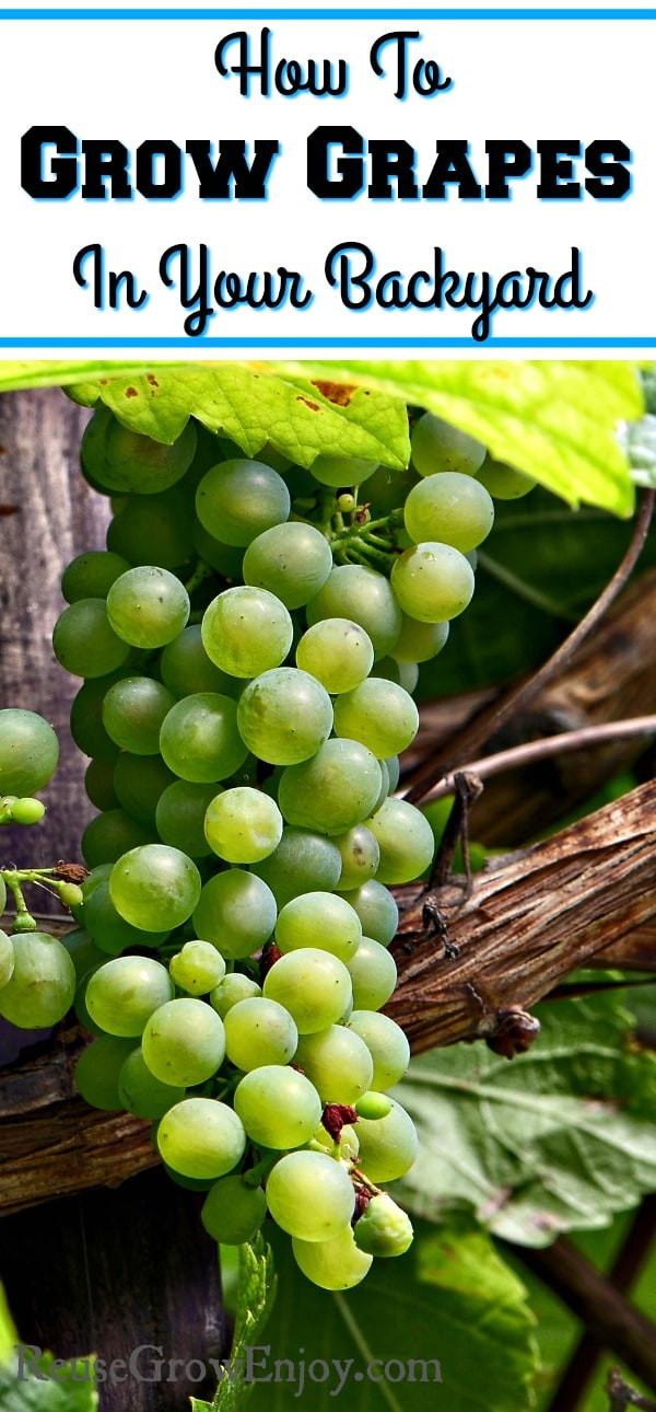 Growing Grapes In Backyard  How To Grow Grapes In Your Backyard Reuse Grow Enjoy