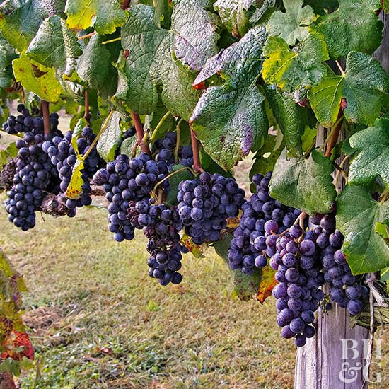 Growing Grapes In Backyard  How to Grow Grapes