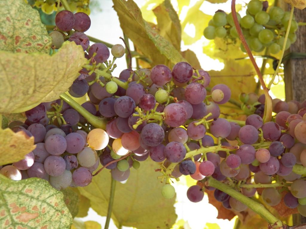 Growing Grapes In Backyard  Growing Grapes in Your Backyard