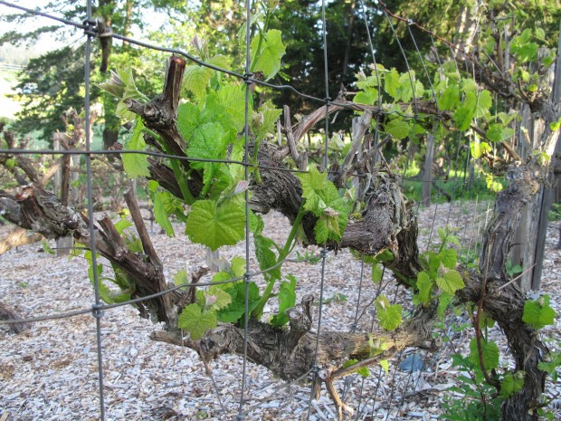 Growing Grapes In Backyard  Growing grapes can take time attention Home & Garden