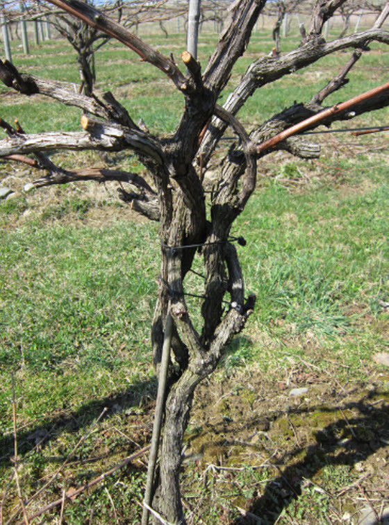 Growing Grapes In Backyard  Growing Grapes