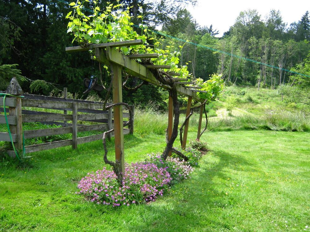 Growing Grapes In Backyard  Vines and Climbers forum panion for grapes Garden