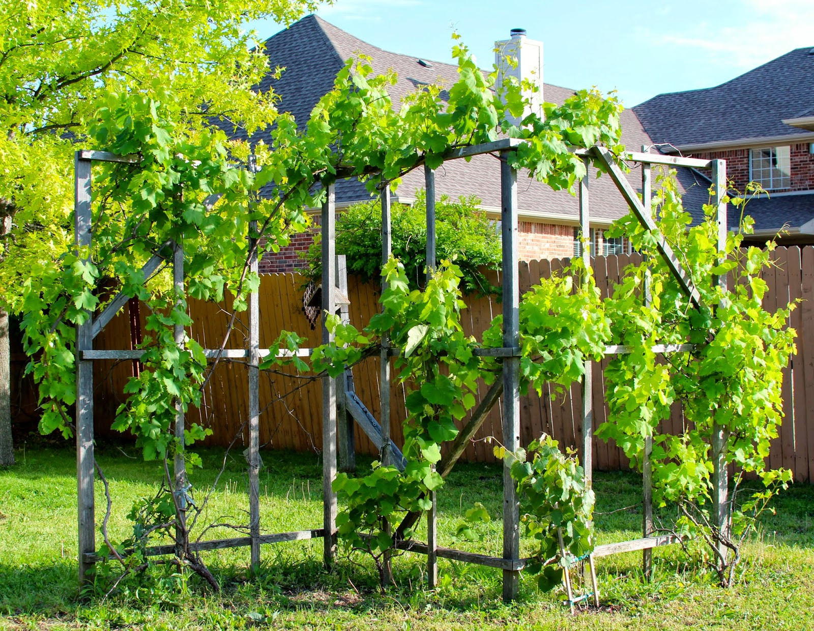 Growing Grapes In Backyard  Rainbow Magic Sparkle Butterfly Early May 2014 The
