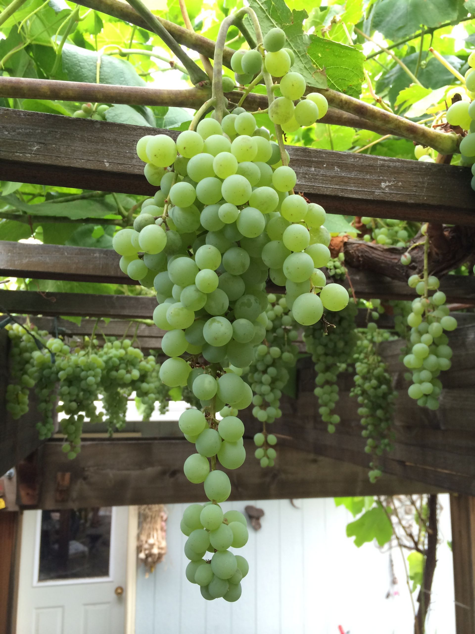 Growing Grapes In Backyard  Tips for Growing and Pruning Table Grapes in the Home