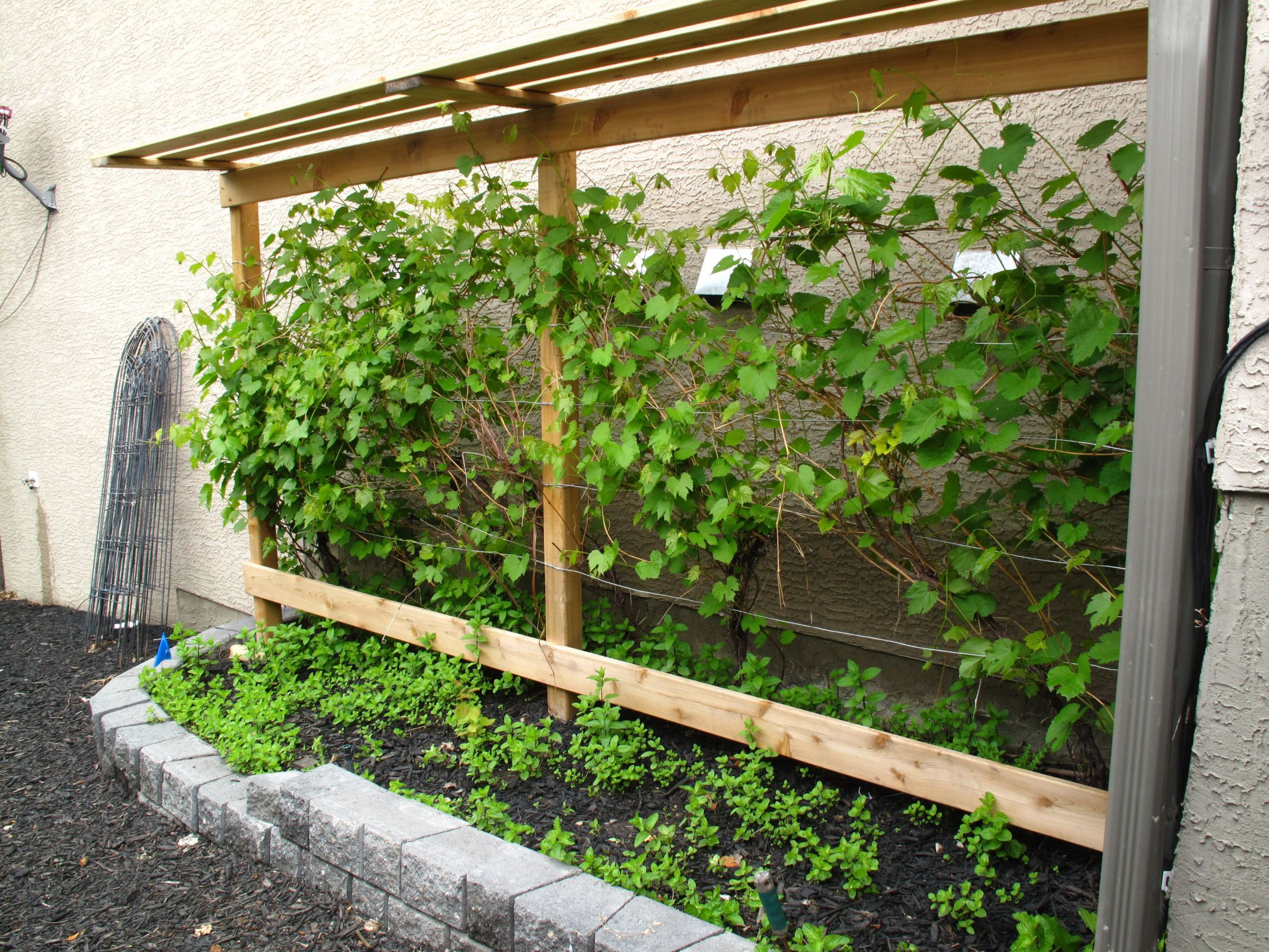 Growing Grapes In Backyard  Grow your own grapes in Alberta with a grape vine trellis