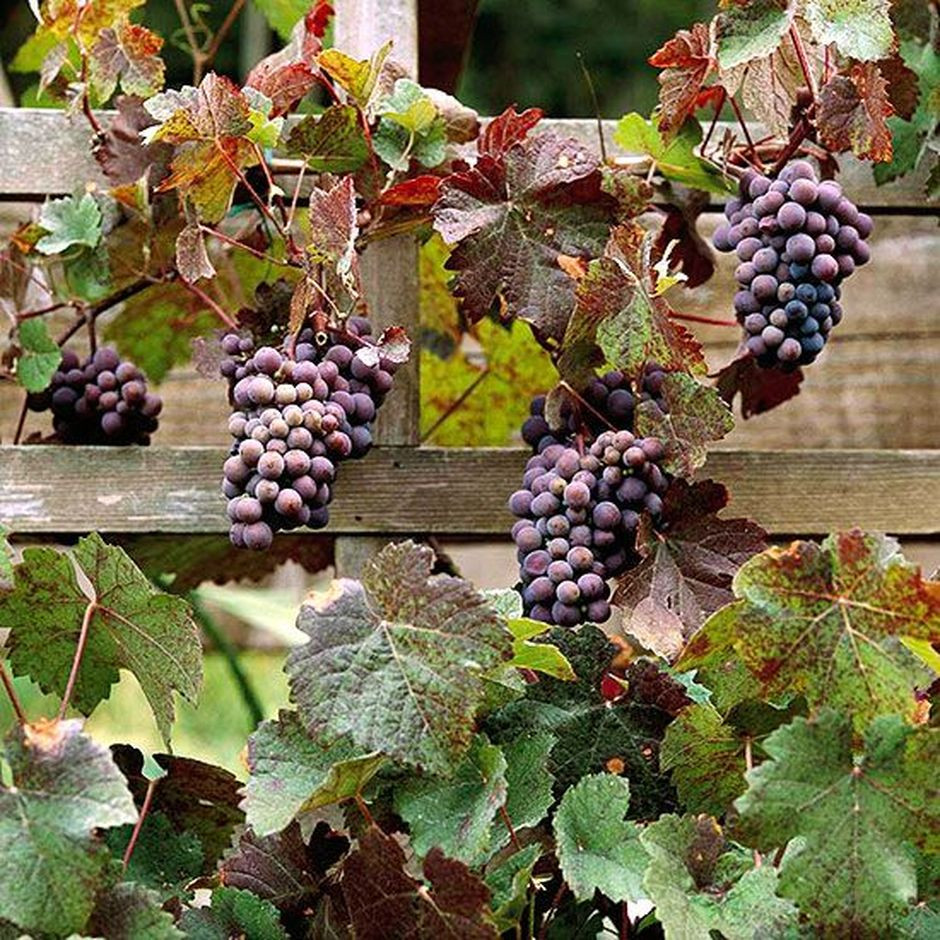 Growing Grapes In Backyard  20 Awesome Tips and Ideas to Grow Grape in Your Home