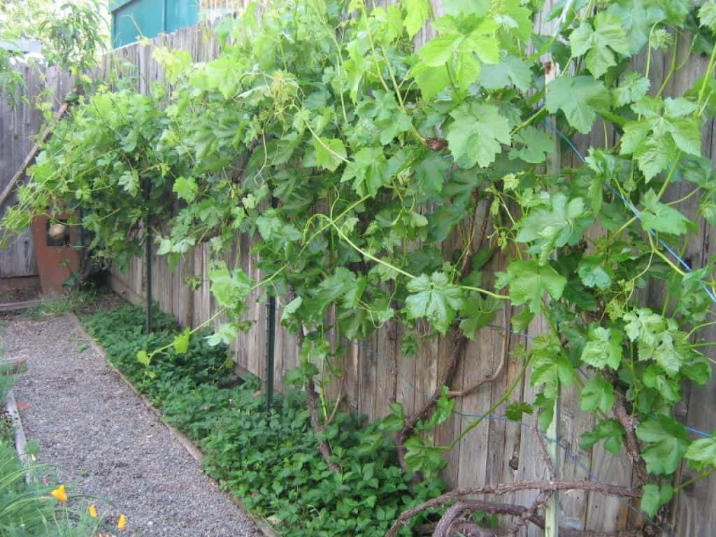 Growing Grapes In Backyard  Outdoor Backyard With Grapes And Ground Cover Plants