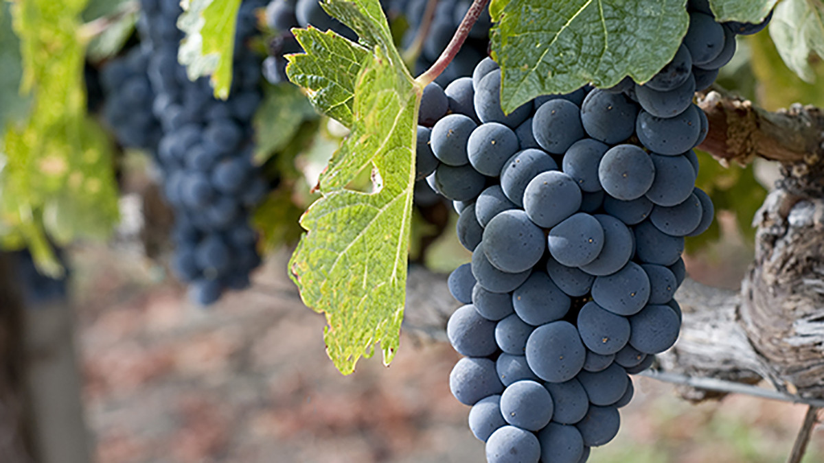 Growing Grapes In Backyard  5 Easy Steps for Growing Grapes in Your Own Backyard