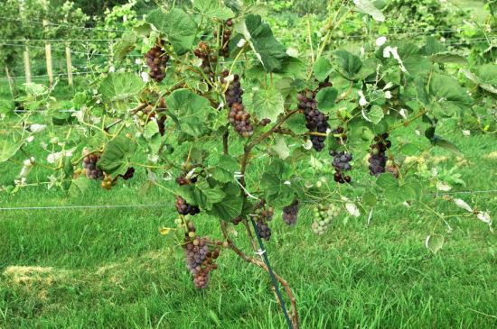 Growing Grapes In Backyard  Create an Edible Landscape by Growing Small Fruits