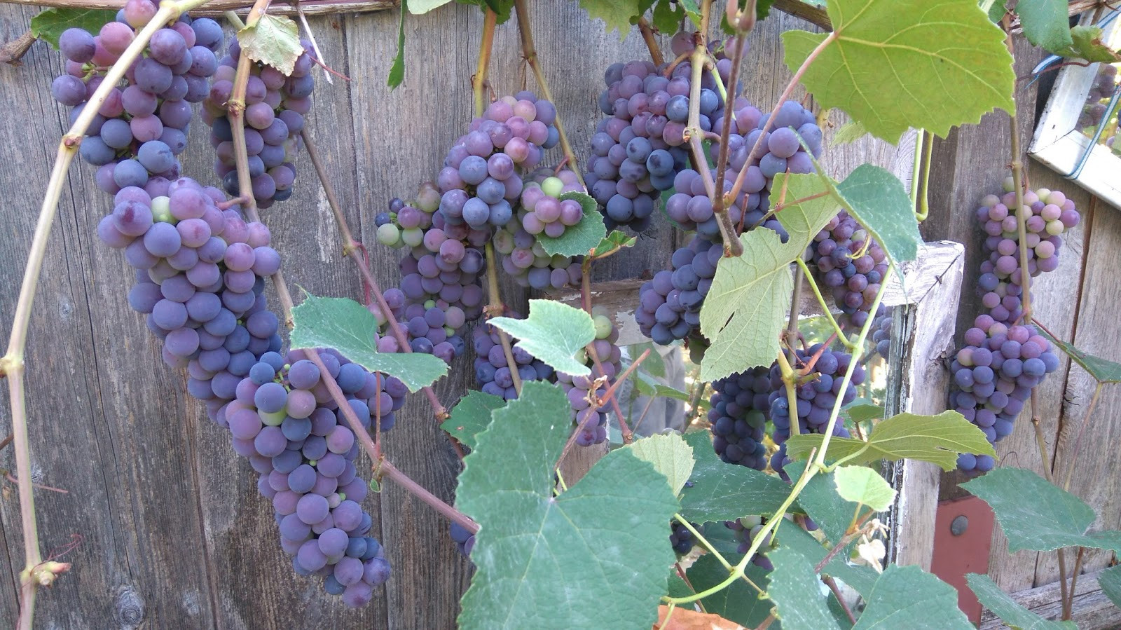 Growing Grapes In Backyard  motherkerala How to grow grapes in your backyard