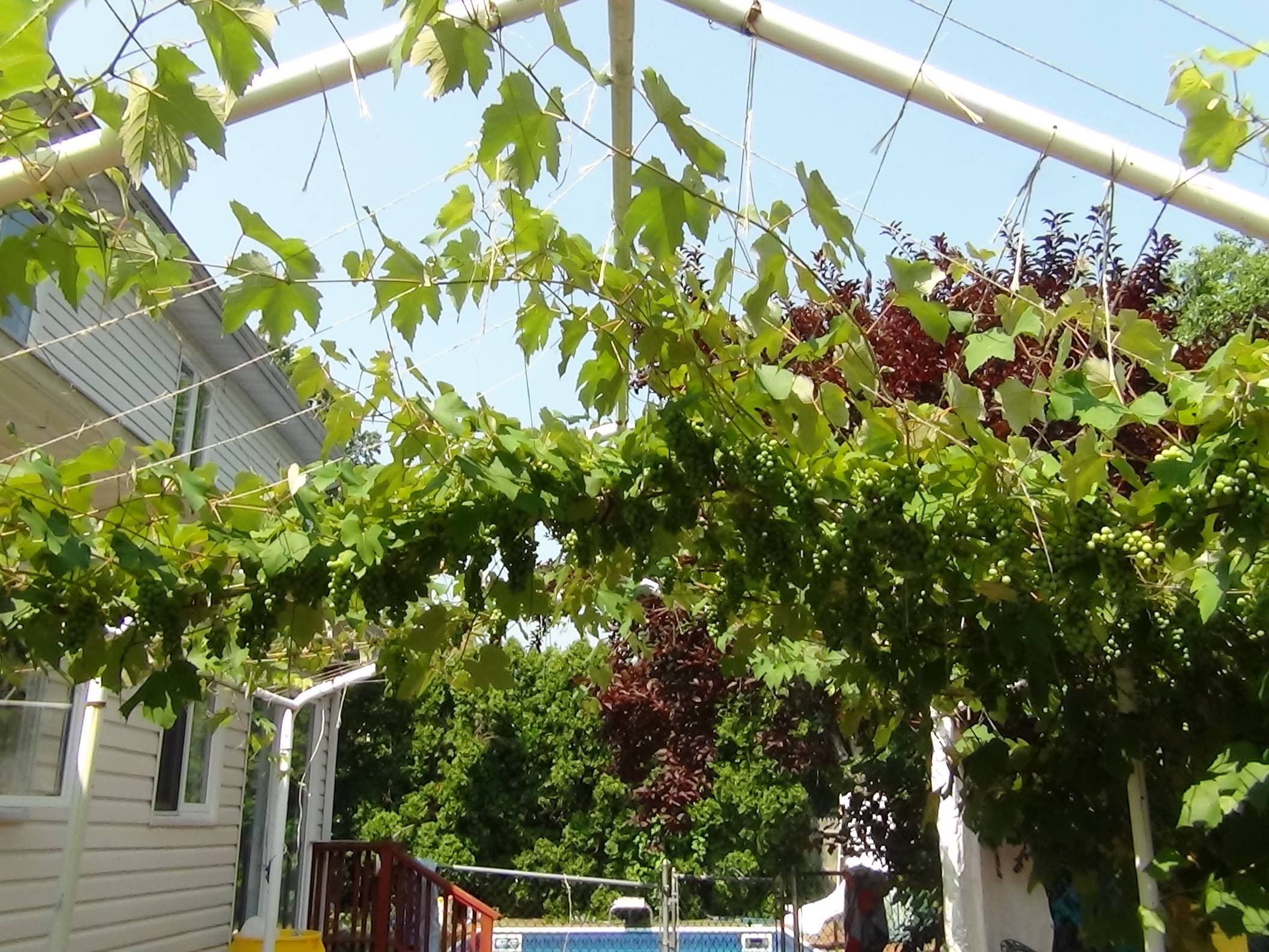 Growing Grapes In Backyard  My mom has been growing grapes in our backyard She