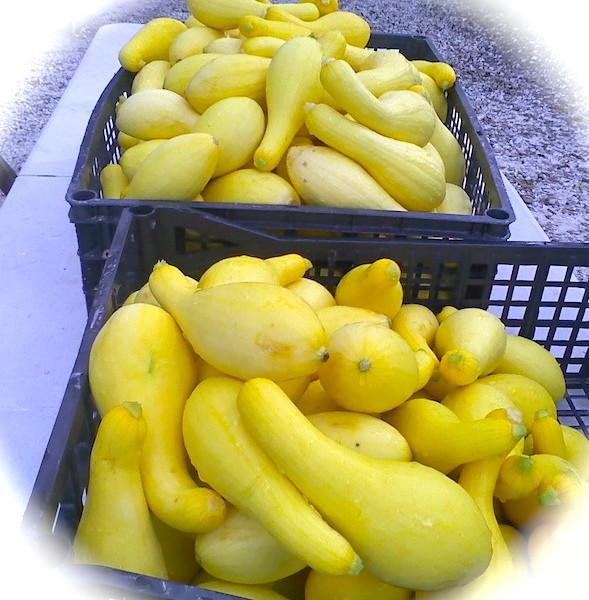 Summer Squash Nutrition  Beasley Farm of Brooksville Yellow Summer Squash Nutrition